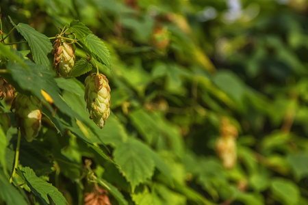 Hops fruit at autumn sun