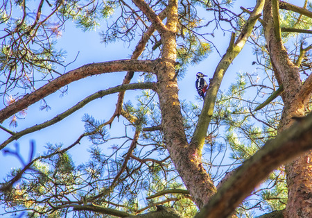 Woodpecker on a pine in forest. Natural composition. Zdjęcie Seryjne