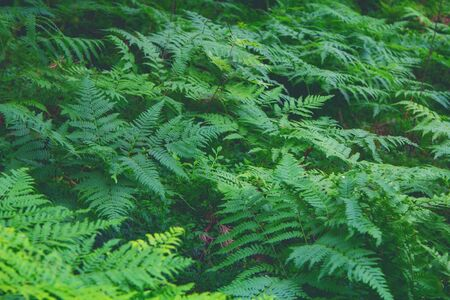 dark green fern background - natural texture. Scandinavian forest. Фото со стока