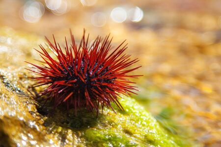 Sea urchin sits on a stone. Prickly mollusc sometimes creeps into the area Represents danger of injury to the feet. Stock Photo