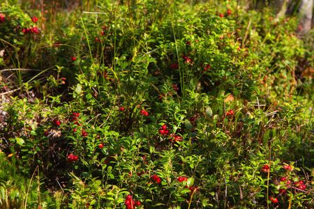 Ripe red lingonberry ( cowberry , partridgeberry ) grows in deep forest with natural background Zdjęcie Seryjne - 129017907