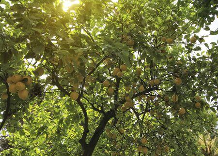 lemon tree at seville garden