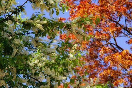 bird cherry tree flowers in spring morning