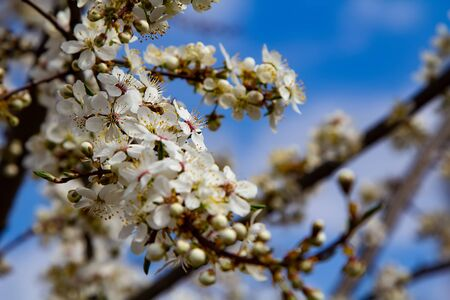 Young plum flowers and bright blue sky in early spring season. Natural composition