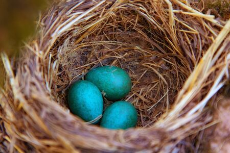 mavis songbird, Turdus philomelos nest with eggs. In spring, songbirds build nests and hatch chicks.