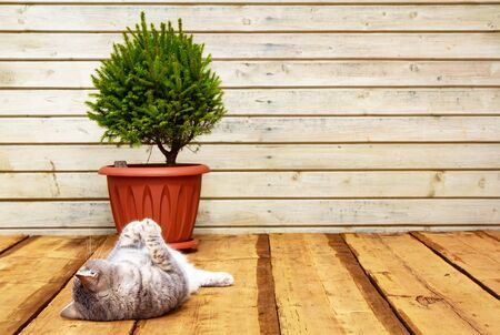 Scandinavian comfort. Wooden porch, Spruce in a pot. The cat lies on the floor. Hyugge concept Фото со стока