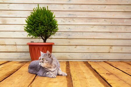 Scandinavian comfort. Wooden porch, Spruce in a pot. The cat lies on the floor. Hyugge concept Zdjęcie Seryjne