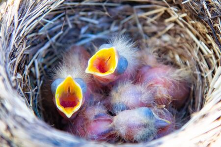 mavis songbird, Turdus philomelos nest with cute little chicks close up. In spring, songbirds build nests and hatch chicks Zdjęcie Seryjne