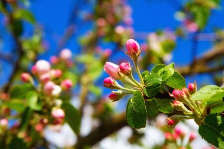 Young apple flowers and bright blue sky in early spring season. Natural composition Zdjęcie Seryjne