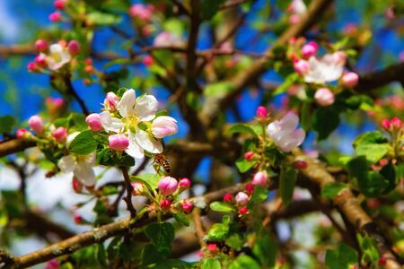 Young apple flowers and bright blue sky in early spring season. Natural composition Фото со стока