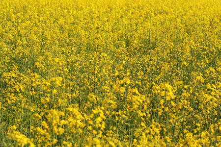 Yellow field of canola photo