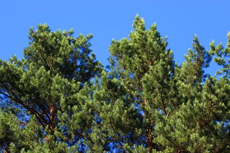 sunshines: Green pine branch against the blue sky Stock Photo