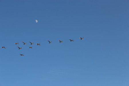 Geese flying against the sky and the moon photo