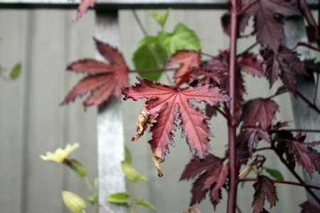 セレクティブ フォーカスと赤い葉