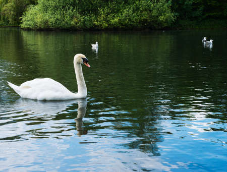 Single white swan in a water pond photo