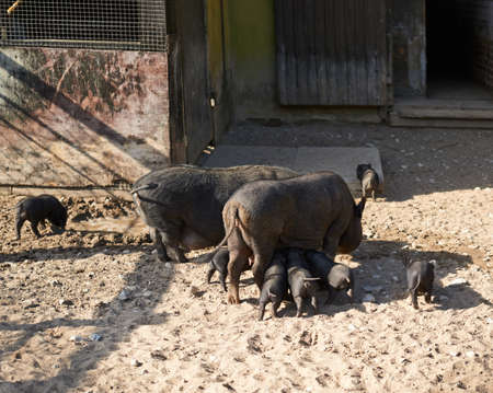 Female pig feeding piglings, outdoor composition photo