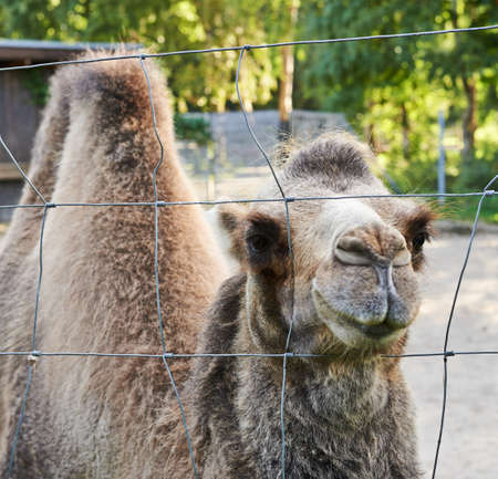 one humped: Bactrian camel behind the wire fence, outdoor composition