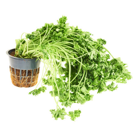 sear: Sear green parsley isolated over white background