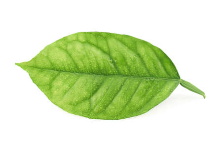 Lemon tree green leaf covered with tiny water drops isolated over the white background photo