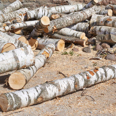 sawed: Cut birch tree logs on the ground