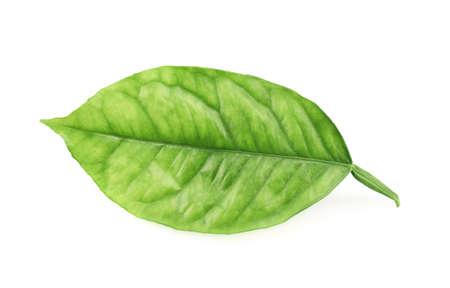 Lemon tree green leaf isolated over the white background photo