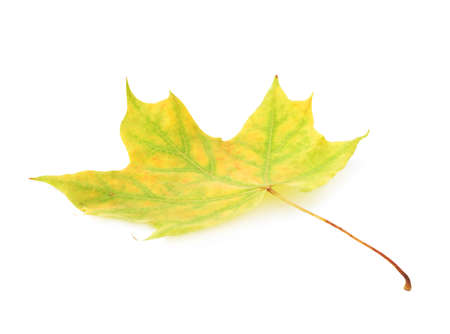 hints: Green autumn maple leaf with the hints of yellow isolated over the white background