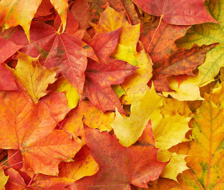 pile of leaves: Surface covered with colorful maple leaves as an autumn background composition