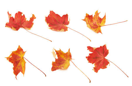 hints: Red autumn maple leaf with the hints of yellow, isolated over the white background, set of six foreshortenings