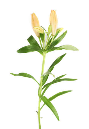 Yellow lily lilium flower isolated over the white