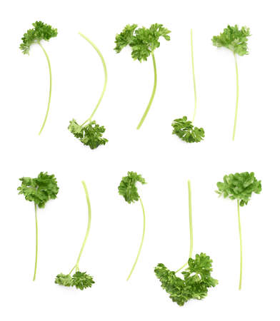 multiple images: Petroselinum crispum apiaceae garden parsley plants branch fragment isolated over the white background, set of multiple different images Stock Photo