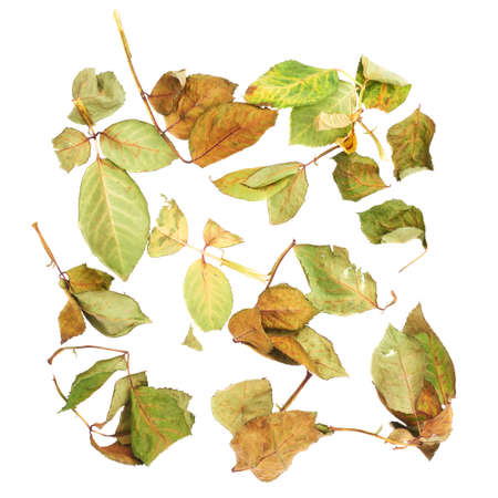 White surface covered with old dried rose leaves as an abstract composition, top view Stock Photo