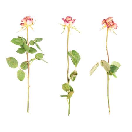tallo: rosa seca solo se levantó sobre el fondo blanco aislado
