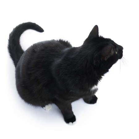metis: Sitting on the floor black cat isolated over the white background