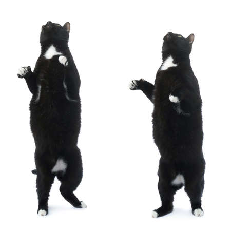 metis: Standing on the floor black cat isolated over the white background Stock Photo