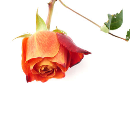 Single red orange rose isolated lying over the white surface Stock Photo