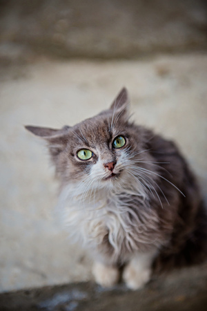 paw smart: Portrait of a grey cat with green eyes