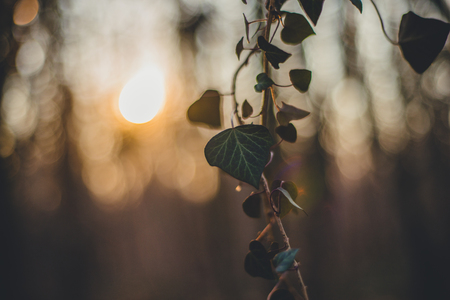 devils garden: Forest with ivy. Sunset silhouette. Spring time Stock Photo