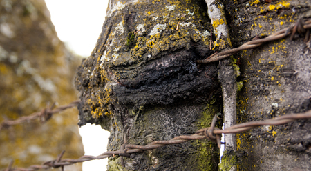 Tree with barbed wire fence grown in to the bark