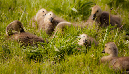 Goslings sitting in grass with tilted heads facing