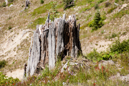 Tree stump splintered after a volcanic eruption claimed the tree