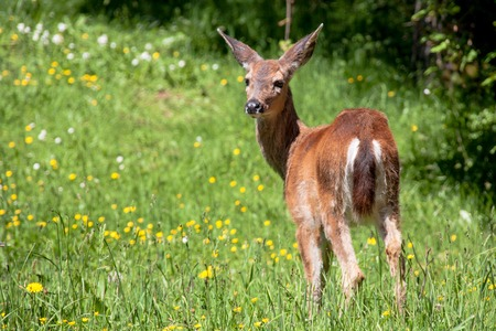 American black tail deer in a grassy field with wildflowers and trees