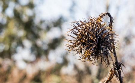 Dead decaying globe thistle standing alone on a winter day