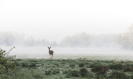 Deer standing in a foggy grassy field after sunrise Stock Photo