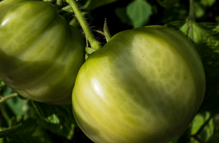 Fresh green tomatoes growing on the vine in the daylight Stock Photo