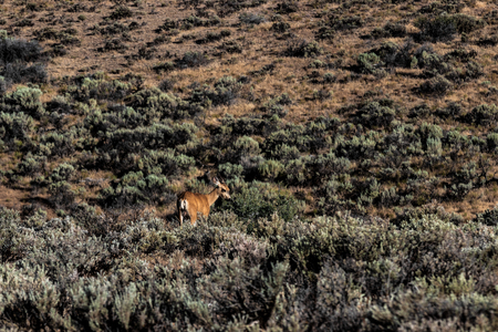 Palouse desert deer standing in the brush next to a hill in plain view