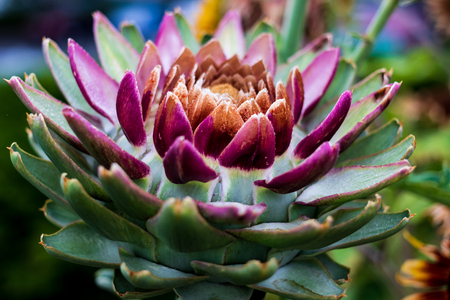Beautiful colored succulent cacti flower with vivid tones and green Stock Photo