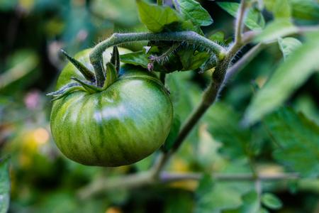 Fresh green tomatoes growing fresh on the vine ripening