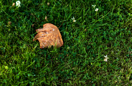 Brown leaf with dew drops fallen on a clover and grass lawn in late summer Stock Photo