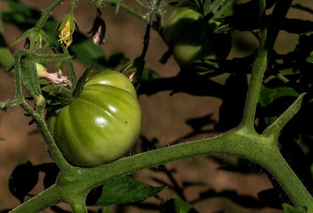 Green tomatoes on the vine with mild ambient light and blur