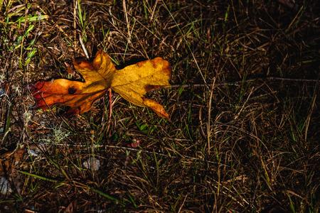 Brown golden dead fallen autumn leaf on a dry grassy background
